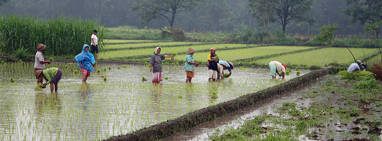 Wet-rice farming in modern-day Java, near Yogyakarta. Photo by Gunawan Kartapranata, 2010 / CC BY-SA 3.0.